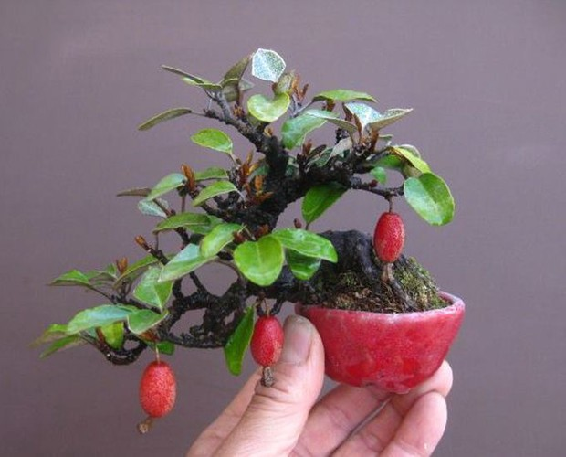 Ngam loat bonsai nhot sieu dep tao hinh doc la trung Tet-Hinh-4