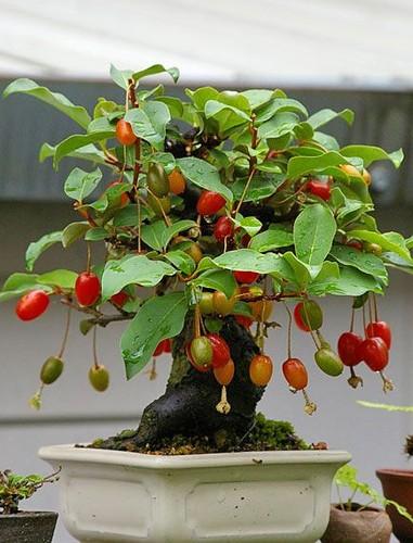 Ngam loat bonsai nhot sieu dep tao hinh doc la trung Tet