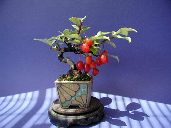 Ngam loat bonsai nhot sieu dep tao hinh doc la trung Tet-Hinh-11