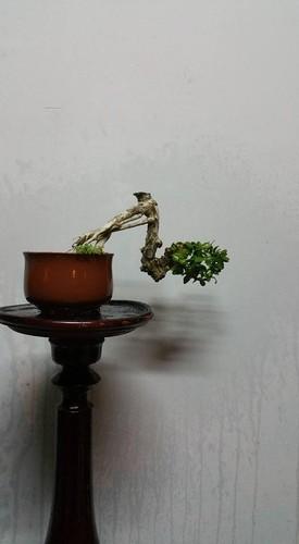Ngam loat bonsai dang thac do sieu doc la-Hinh-5