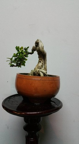 Ngam loat bonsai dang thac do sieu doc la-Hinh-6