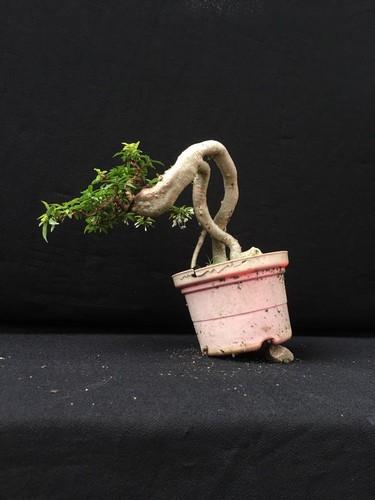 Ngam loat bonsai dang thac do sieu doc la-Hinh-8