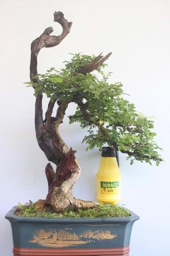 Ngam loat bonsai dang thac do sieu doc la-Hinh-9