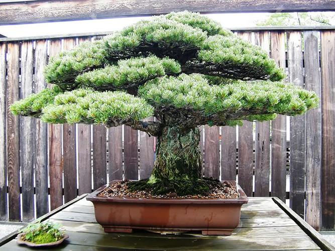 Chiem nguong 10 chau bonsai tu nhien dep nhat the gioi-Hinh-3