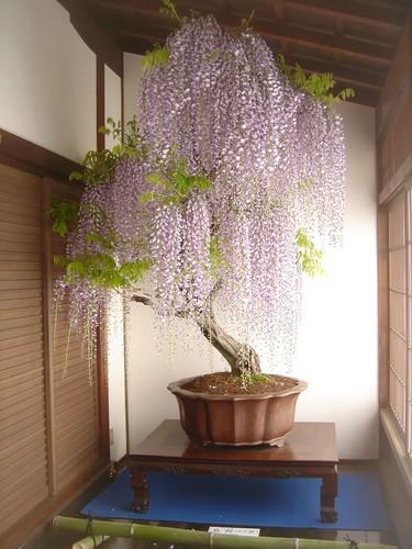 Chiem nguong 10 chau bonsai tu nhien dep nhat the gioi-Hinh-4