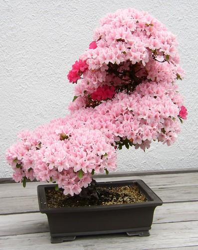 Chiem nguong 10 chau bonsai tu nhien dep nhat the gioi-Hinh-6