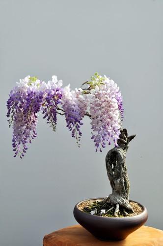Chiem nguong 10 chau bonsai tu nhien dep nhat the gioi