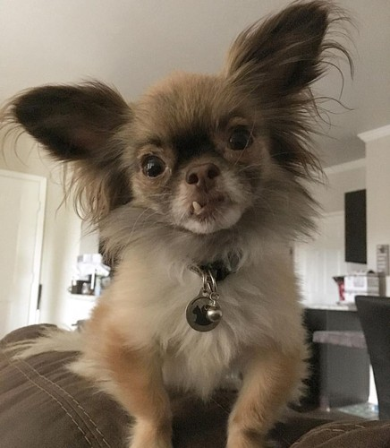 Chu cho Chihuahua rang ho va con duong noi tieng-Hinh-6