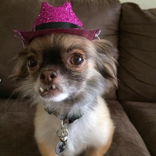 Chu cho Chihuahua rang ho va con duong noi tieng-Hinh-7