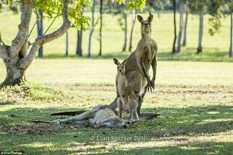 Dau long khoanh khac kangaroo duc tu gia ban doi-Hinh-3