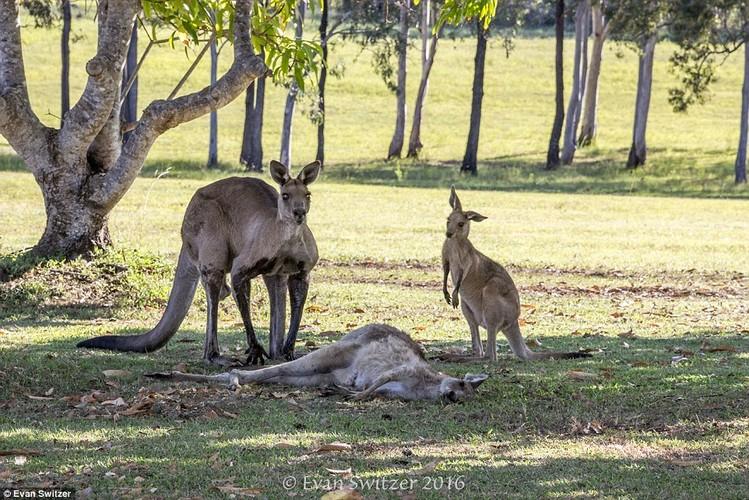 Dau long khoanh khac kangaroo duc tu gia ban doi-Hinh-4