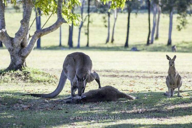 Dau long khoanh khac kangaroo duc tu gia ban doi-Hinh-5
