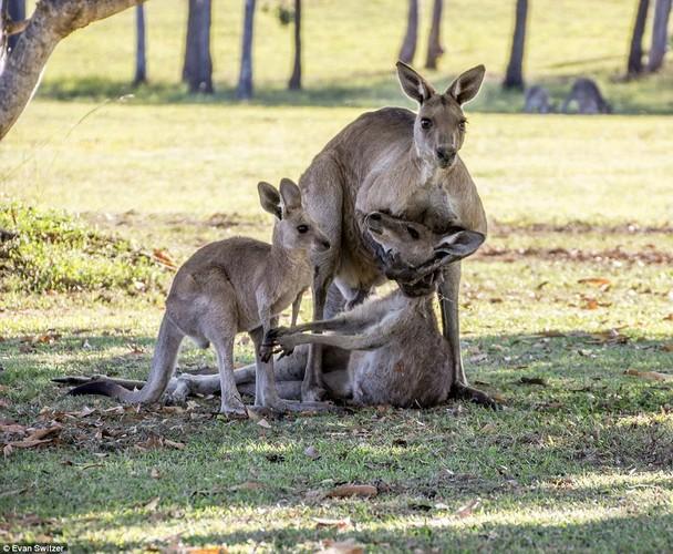 Dau long khoanh khac kangaroo duc tu gia ban doi