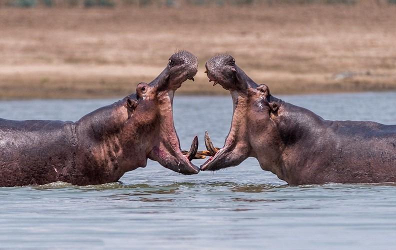 Kinh ngac voi canh ba con ha ma danh nhau toe mau-Hinh-3
