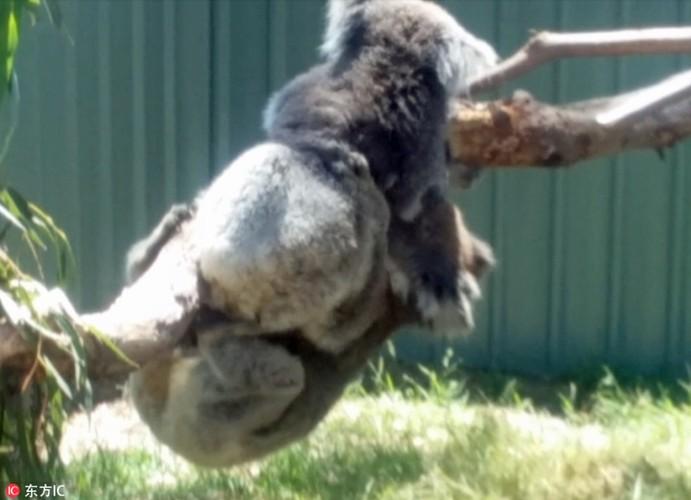 Gau koala dang yeu tranh nhau cho tam nang-Hinh-2