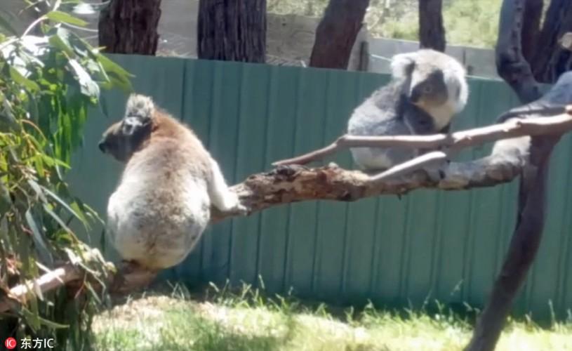 Gau koala dang yeu tranh nhau cho tam nang-Hinh-4