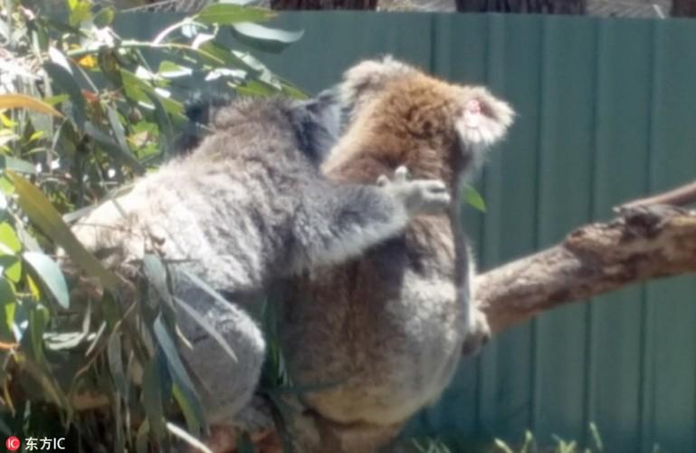 Gau koala dang yeu tranh nhau cho tam nang