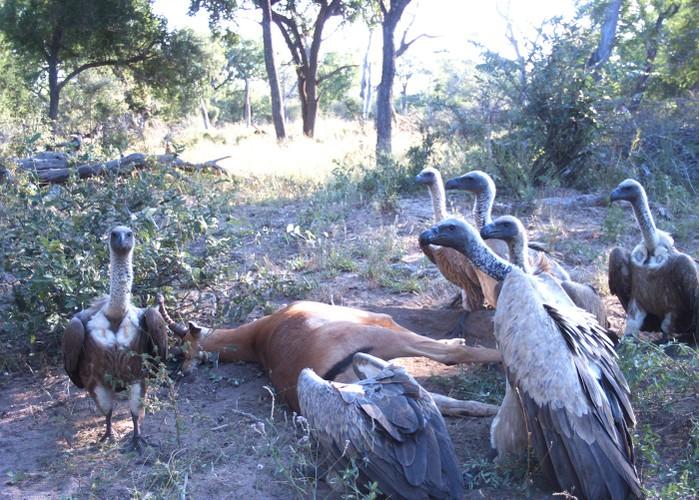 Tu giet nhau vi tinh, linh duong impala bi chia 5 xe 7-Hinh-4