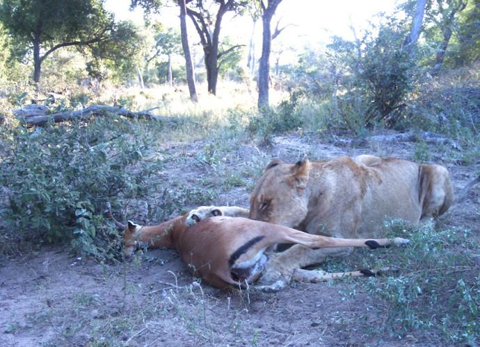 Tu giet nhau vi tinh, linh duong impala bi chia 5 xe 7-Hinh-6
