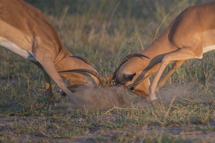 Tu giet nhau vi tinh, linh duong impala bi chia 5 xe 7