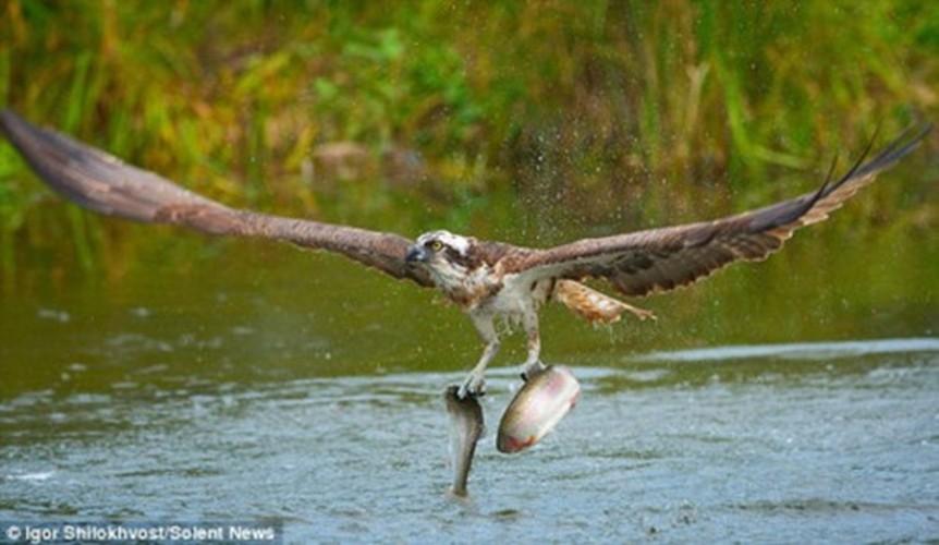Ngoan muc chim ung bien tao dang nhu nguoi mau khi bat ca-Hinh-6