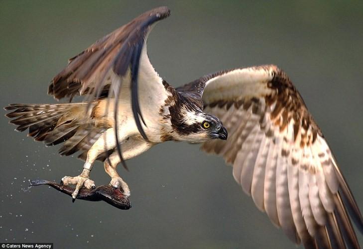Ngoan muc chim ung bien tao dang nhu nguoi mau khi bat ca-Hinh-8