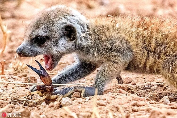 Kinh hoang ve mat khat mau cua cay meerkat so sinh-Hinh-3