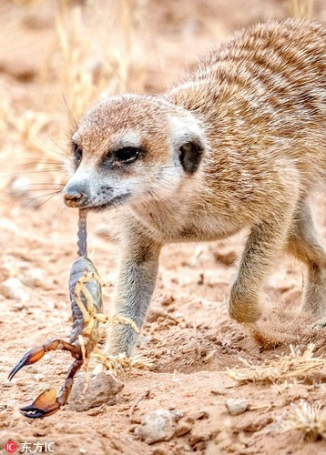 Kinh hoang ve mat khat mau cua cay meerkat so sinh-Hinh-4