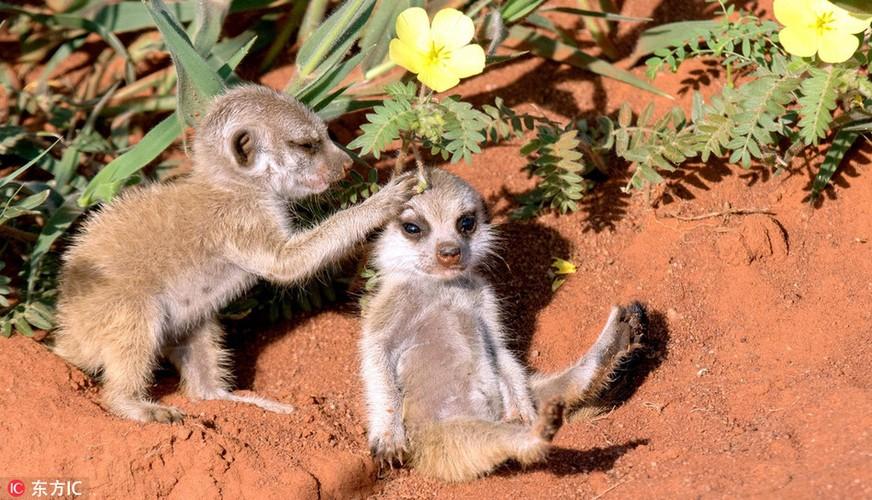 Kinh hoang ve mat khat mau cua cay meerkat so sinh-Hinh-5