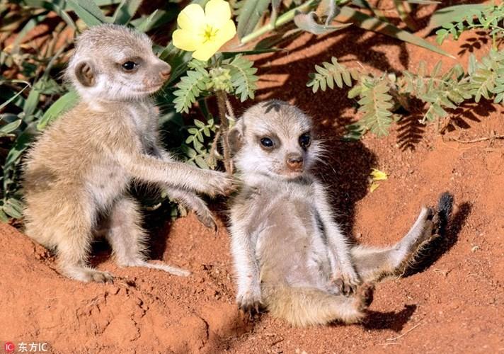 Kinh hoang ve mat khat mau cua cay meerkat so sinh-Hinh-6