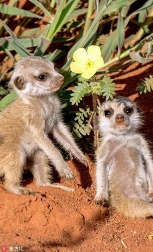 Kinh hoang ve mat khat mau cua cay meerkat so sinh-Hinh-7
