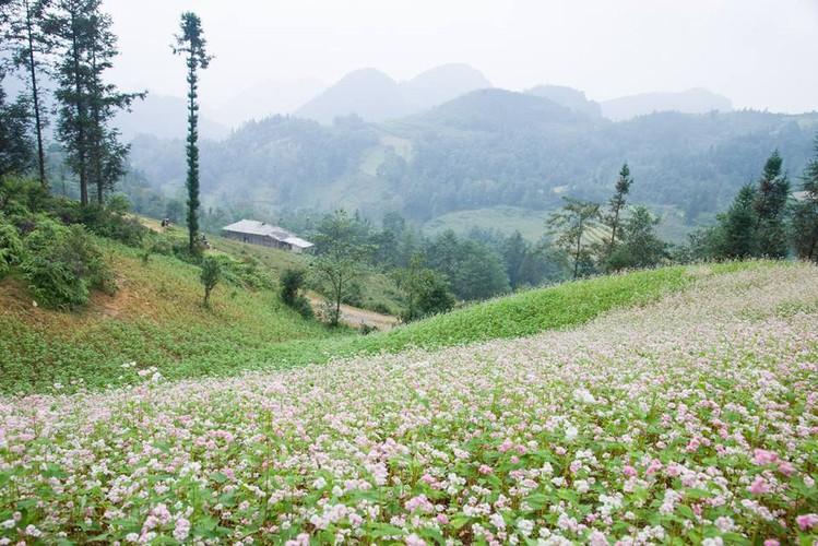 Ngam hoa tam giac mach no som o Bac Ha, Lao Cai-Hinh-10