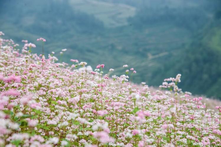Ngam hoa tam giac mach no som o Bac Ha, Lao Cai-Hinh-2