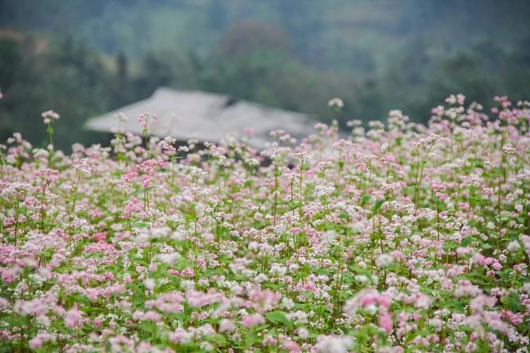 Ngam hoa tam giac mach no som o Bac Ha, Lao Cai-Hinh-4