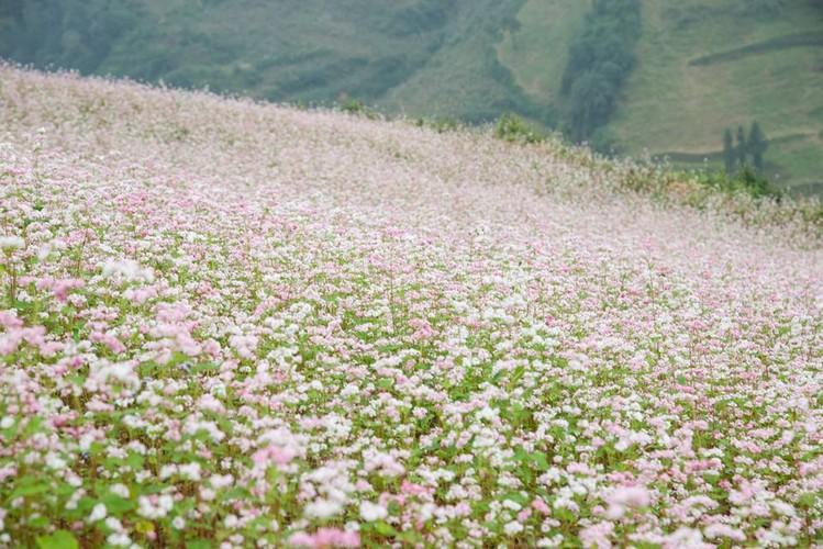 Ngam hoa tam giac mach no som o Bac Ha, Lao Cai-Hinh-5
