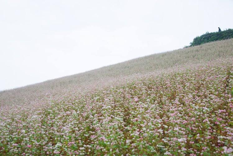 Ngam hoa tam giac mach no som o Bac Ha, Lao Cai-Hinh-8