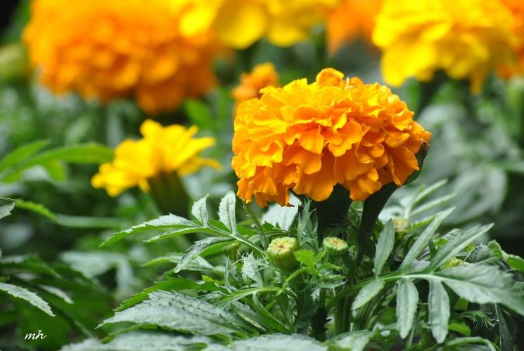 Diem danh nhung loai hoa cuc chua benh tuyet voi-Hinh-12