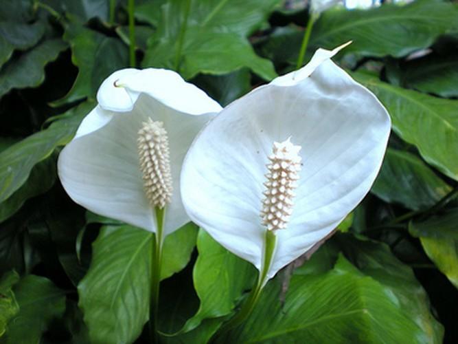 Loai hoa Tet nen trong de thai doc khong khi, ngua benh tat