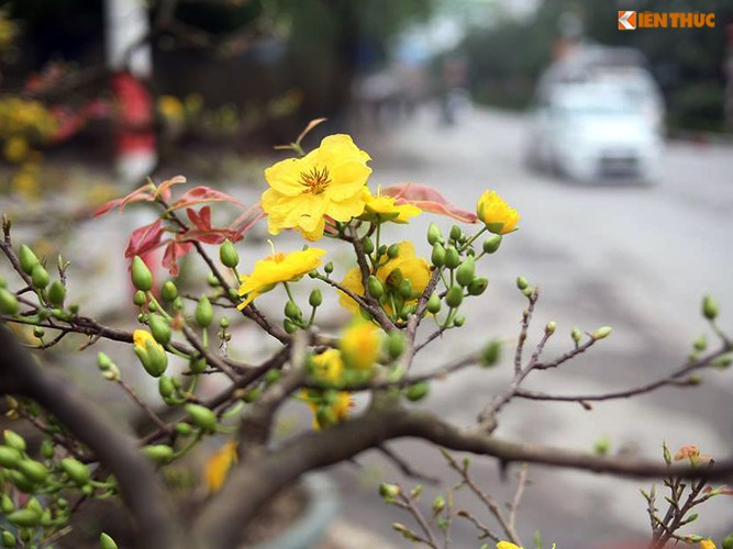 Hoa mai vang bung no ruc ro o Ha Noi ngay can Tet-Hinh-7