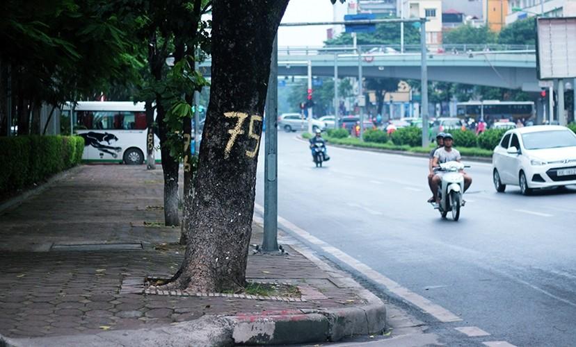 """Tiec ngan ngo nhin hang cay duong Kim Ma sap bi """"tram""""-Hinh-4"""