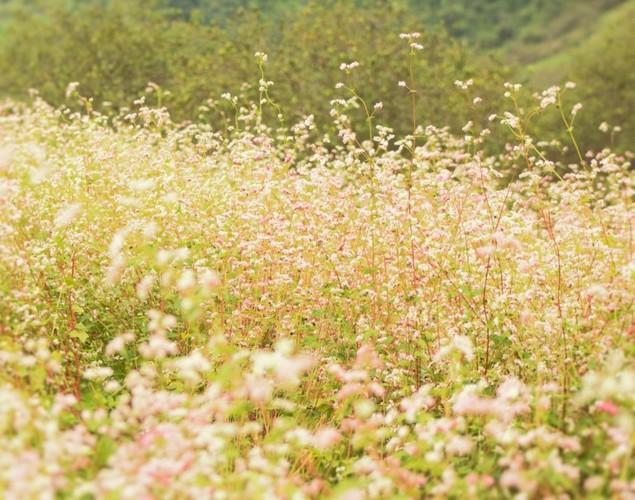 Mua hoa tam giac mach dep ngat ngay o Moc Chau-Hinh-10