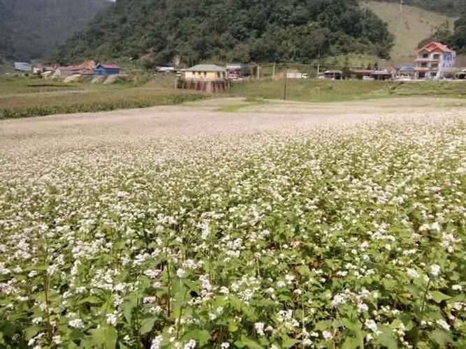 Mua hoa tam giac mach dep ngat ngay o Moc Chau-Hinh-3
