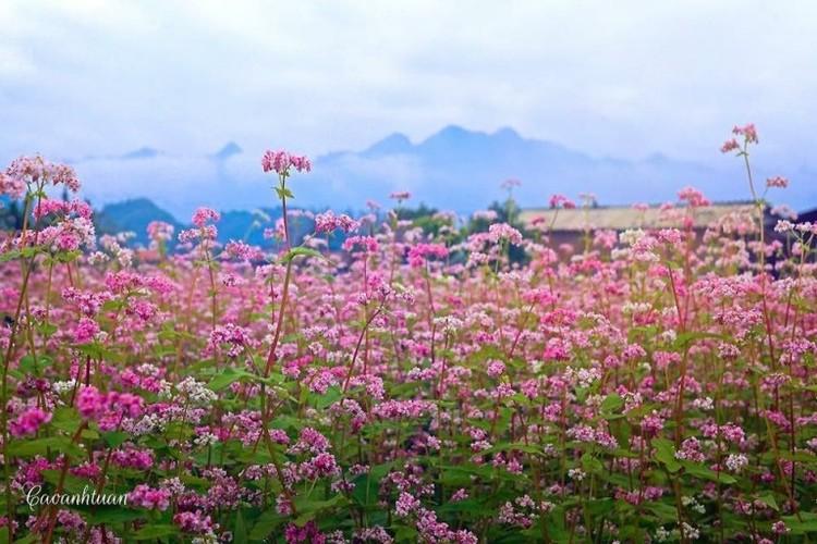 Mua hoa tam giac mach dep ngat ngay o Moc Chau-Hinh-5