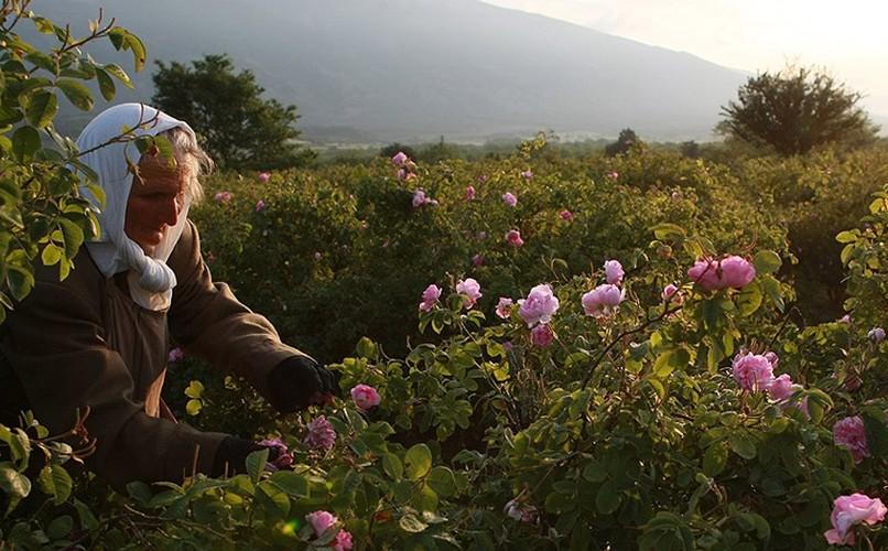 Me man ngam nhung vuon hoa hong rong lon o Bulgaria-Hinh-12