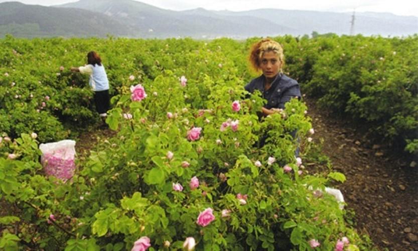 Me man ngam nhung vuon hoa hong rong lon o Bulgaria-Hinh-4