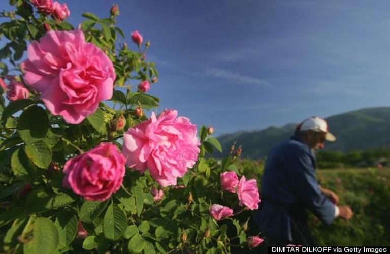 Me man ngam nhung vuon hoa hong rong lon o Bulgaria-Hinh-6