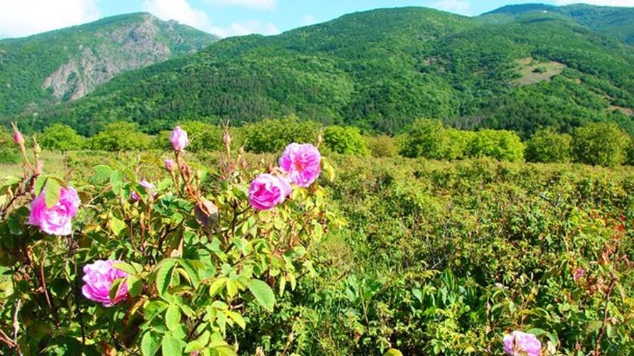 Me man ngam nhung vuon hoa hong rong lon o Bulgaria