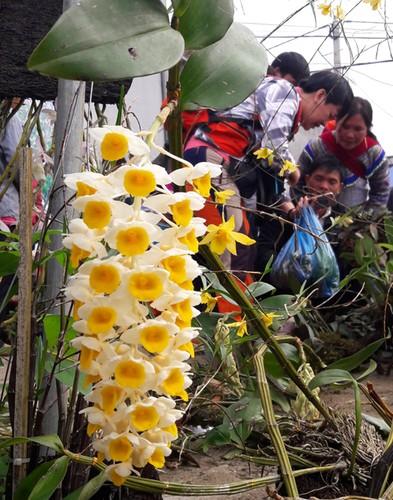 Ngam khu ban hoa lan doc dao o cho phien Bac Ha