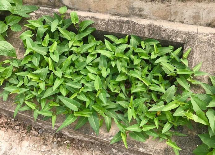 Khoet lo be tong trong rau: Ha thanh sanh cung Ha Giang-Hinh-5