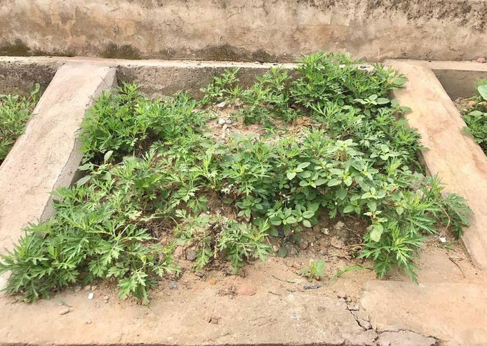 Khoet lo be tong trong rau: Ha thanh sanh cung Ha Giang-Hinh-6